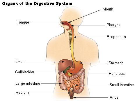 organs-of-digestive-system