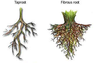 tap_root_vs_fibrous_root